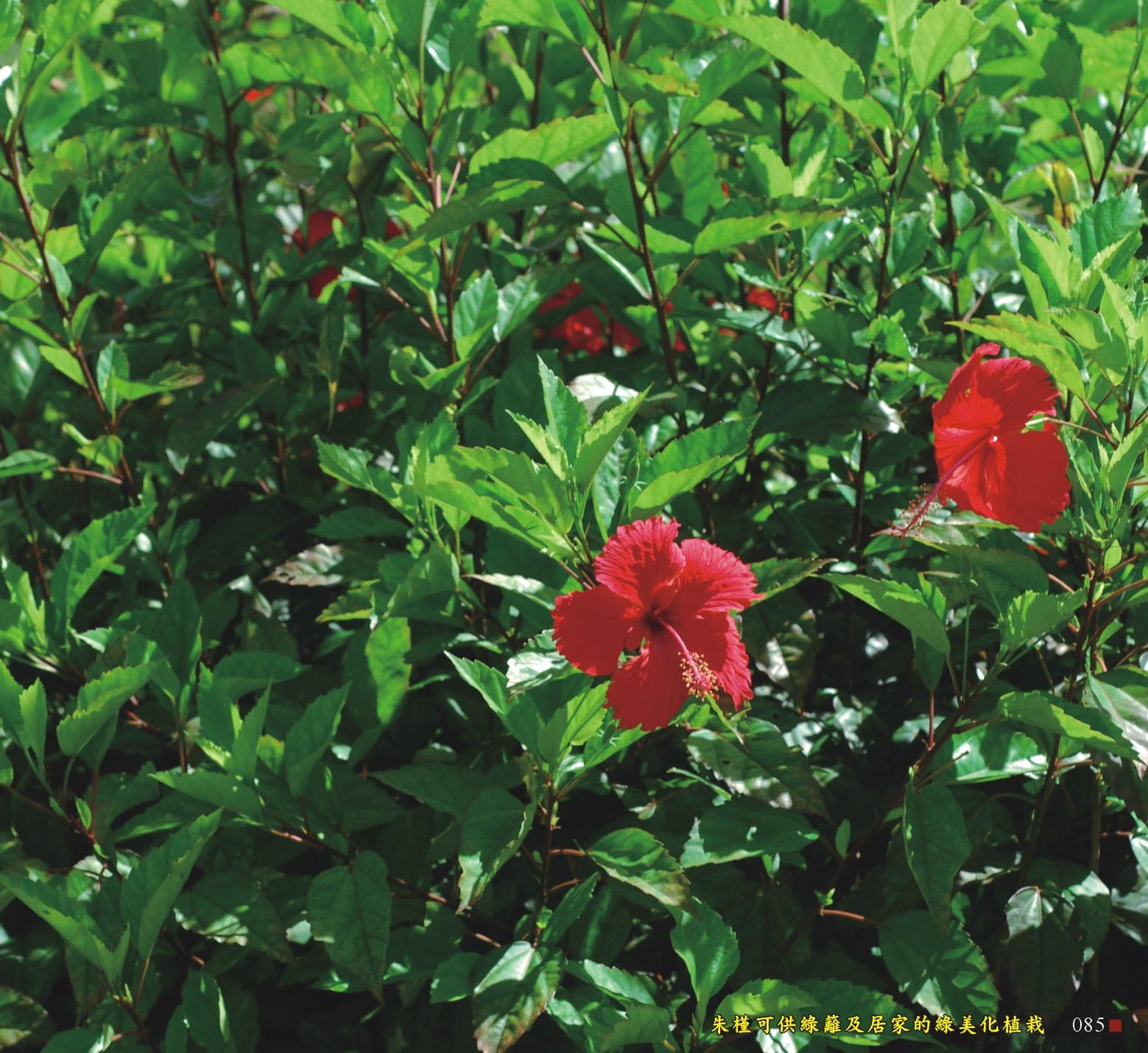 朱槿可供綠籬及居家的綠美化植栽