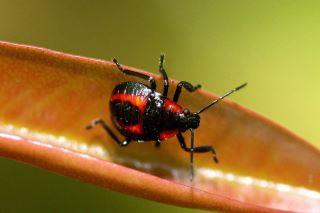 厲椿象Eocanthecona concinna 若蟲與蟲卵