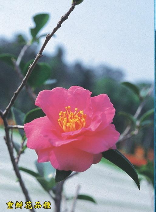 山茶-重瓣花品種