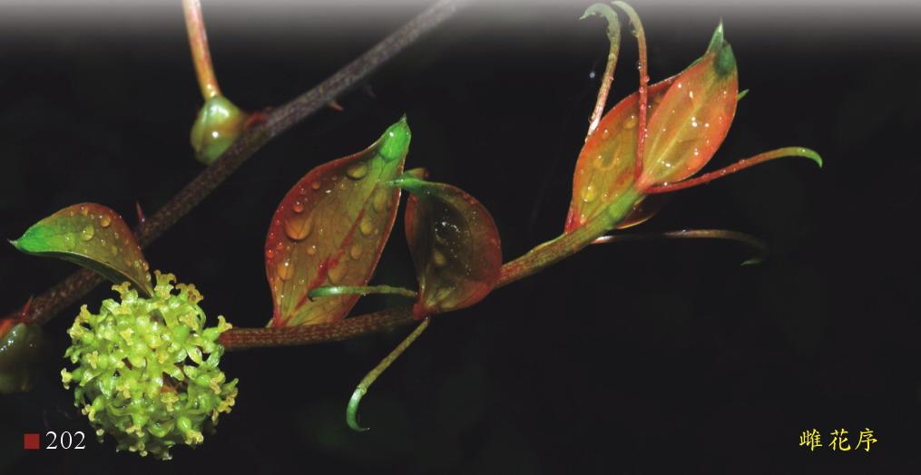 菝葜-雌花序