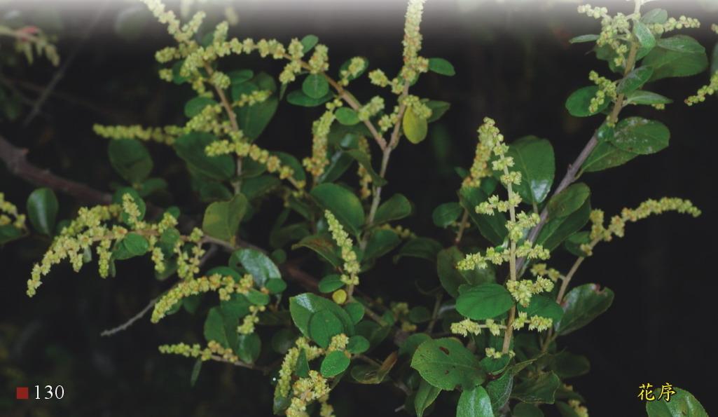 雀梅藤-花序