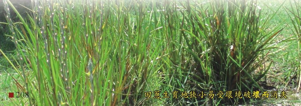 田蔥生育狹小易受環境破壞而消失