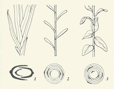 圖板1-葉序,編號1到3,互生葉每節僅著生葉一枚