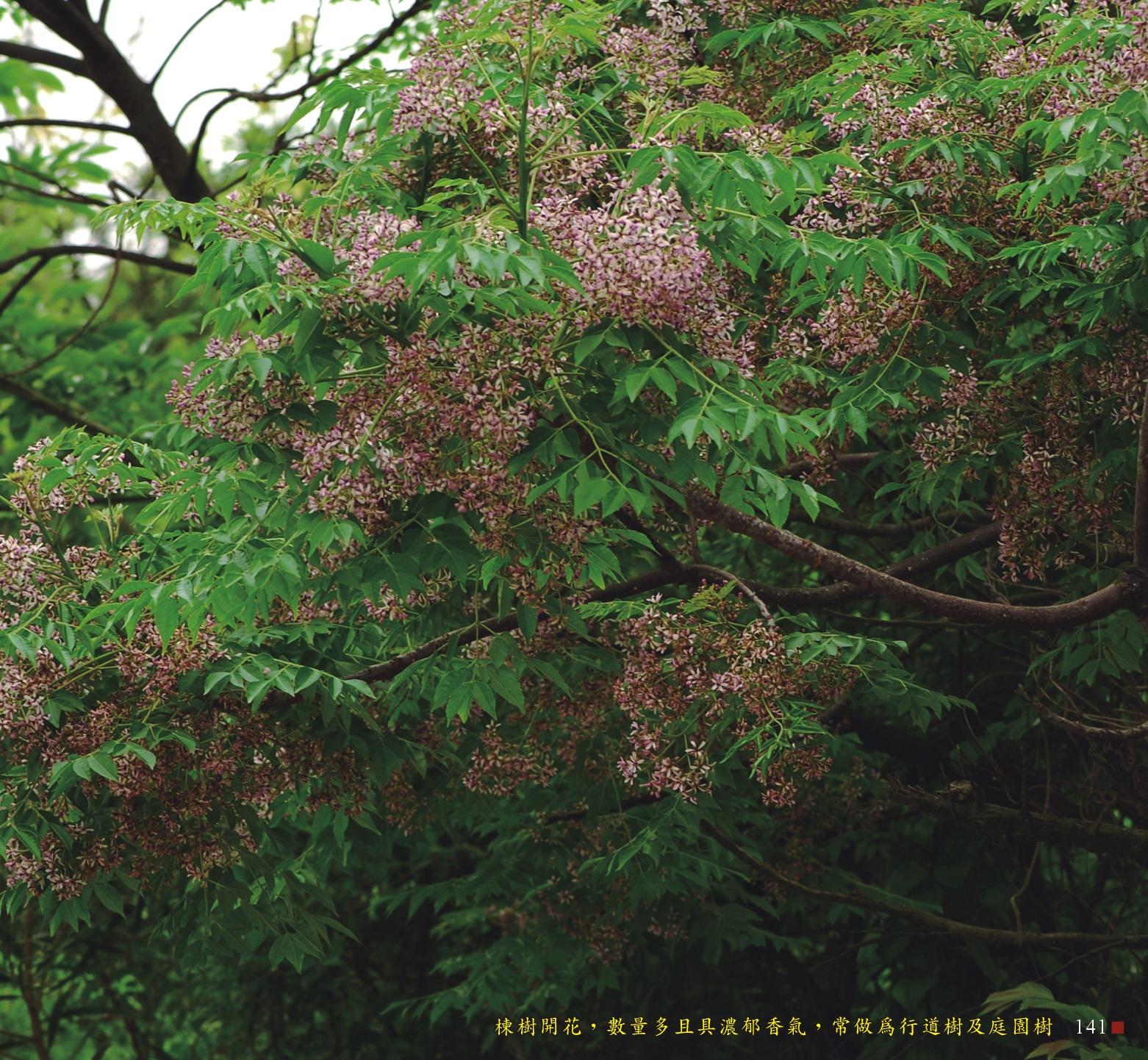 楝樹開花,數量多且具濃郁香氣,常做為行道樹及庭園樹