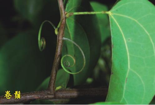 菊花木-卷鬚