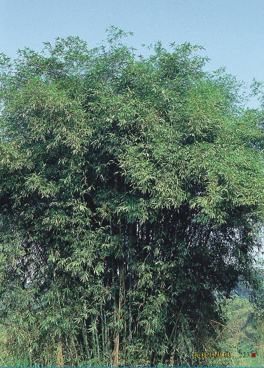 長枝竹植株