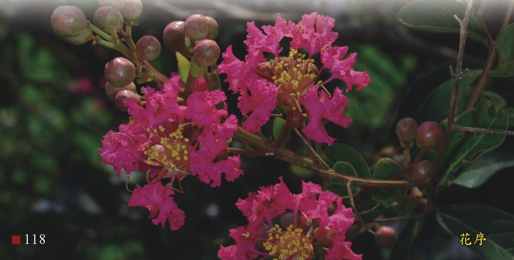 紫薇-花序
