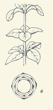 圖板1-葉序,編號6,輪生葉一節葉在三片以上者