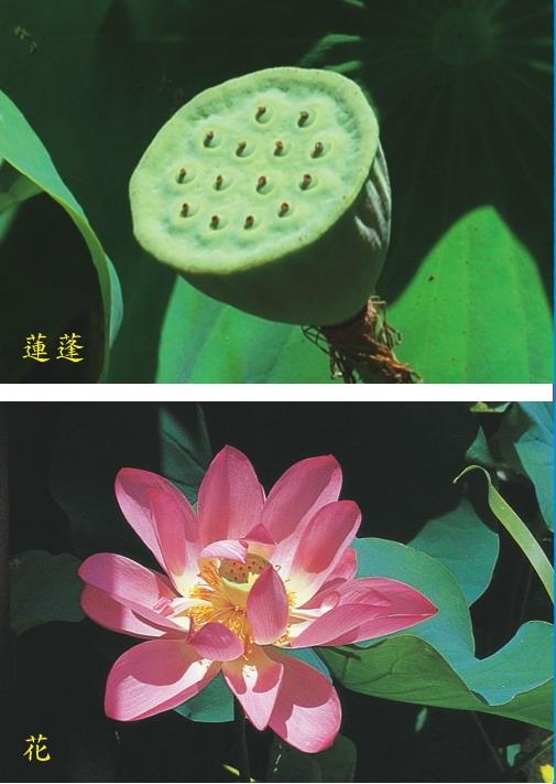 荷花-蓮蓬及花