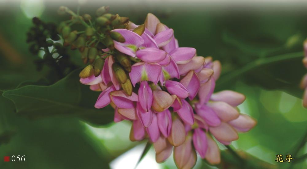 水黃皮-花序