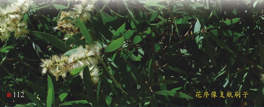 白千層-花序