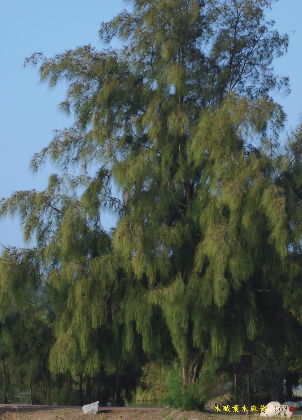 木賊葉木麻黃