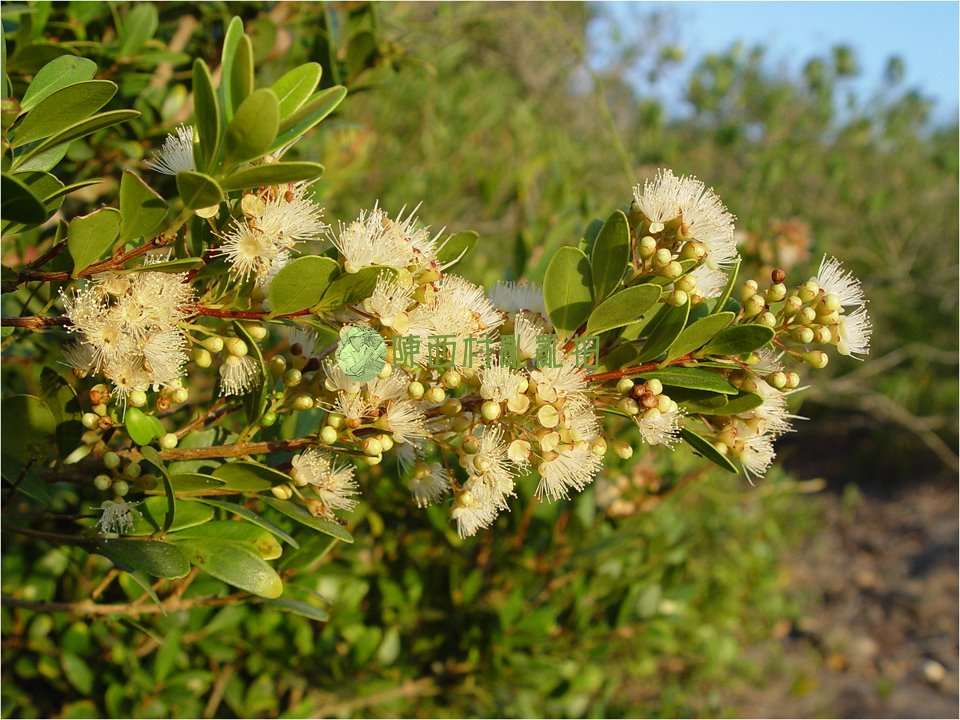 常綠灌木或小喬木,高可達5m,多見於太武山區花崗片麻岩區。