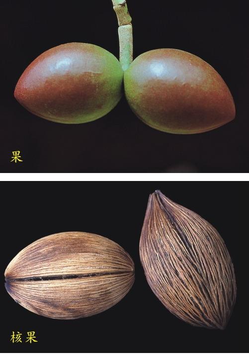 海檬果-果.核果