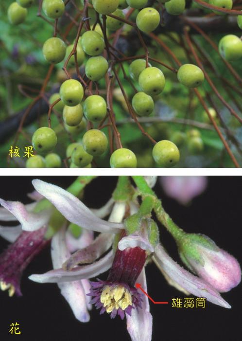 楝樹-核果及花
