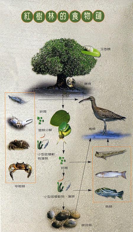 林務所-紅樹林的食物鏈照片