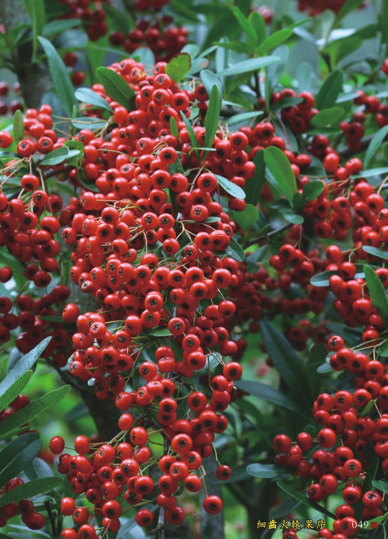 狀元紅-細齒火棘果序