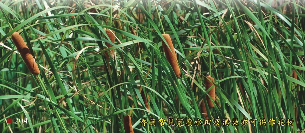 香蒲常見荒廢水田及溝渠亦可供作花材