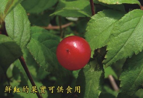 鮮紅的果實可供食用