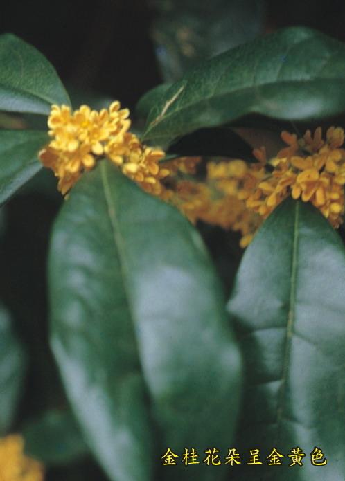 金桂花朵呈金黃色
