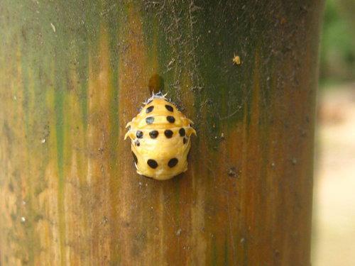 十斑大瓢蟲-即將脫皮的蛹