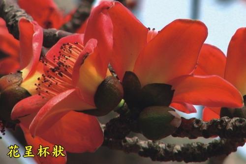 木棉-花呈杯狀