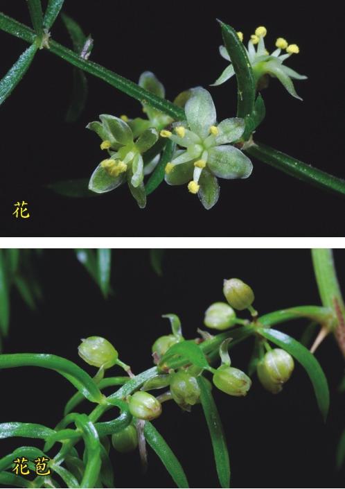 天門冬-花.花苞