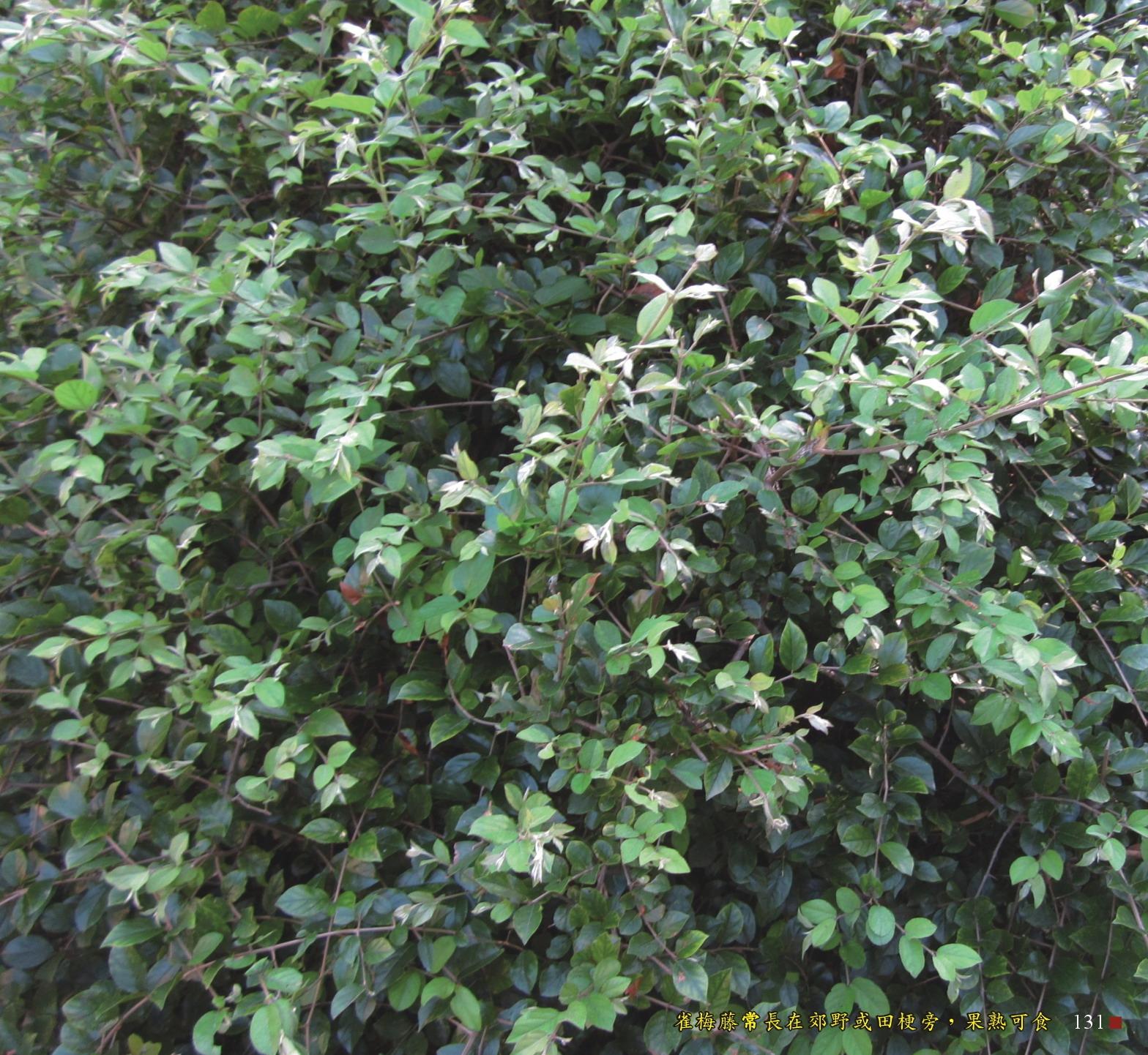 雀梅藤常長在郊野或田梗旁,果熟可吃