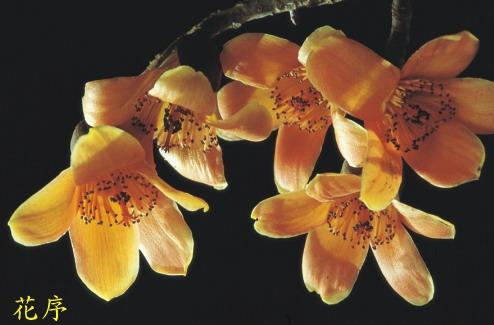 木棉-花序