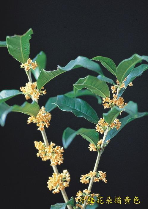 丹桂花朵橘黃色