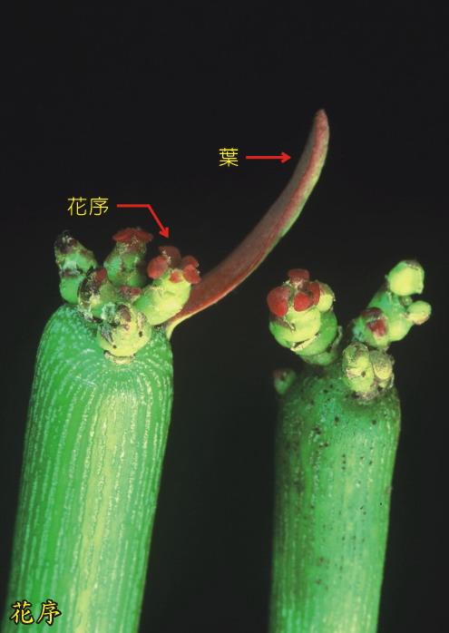 綠珊瑚-花序