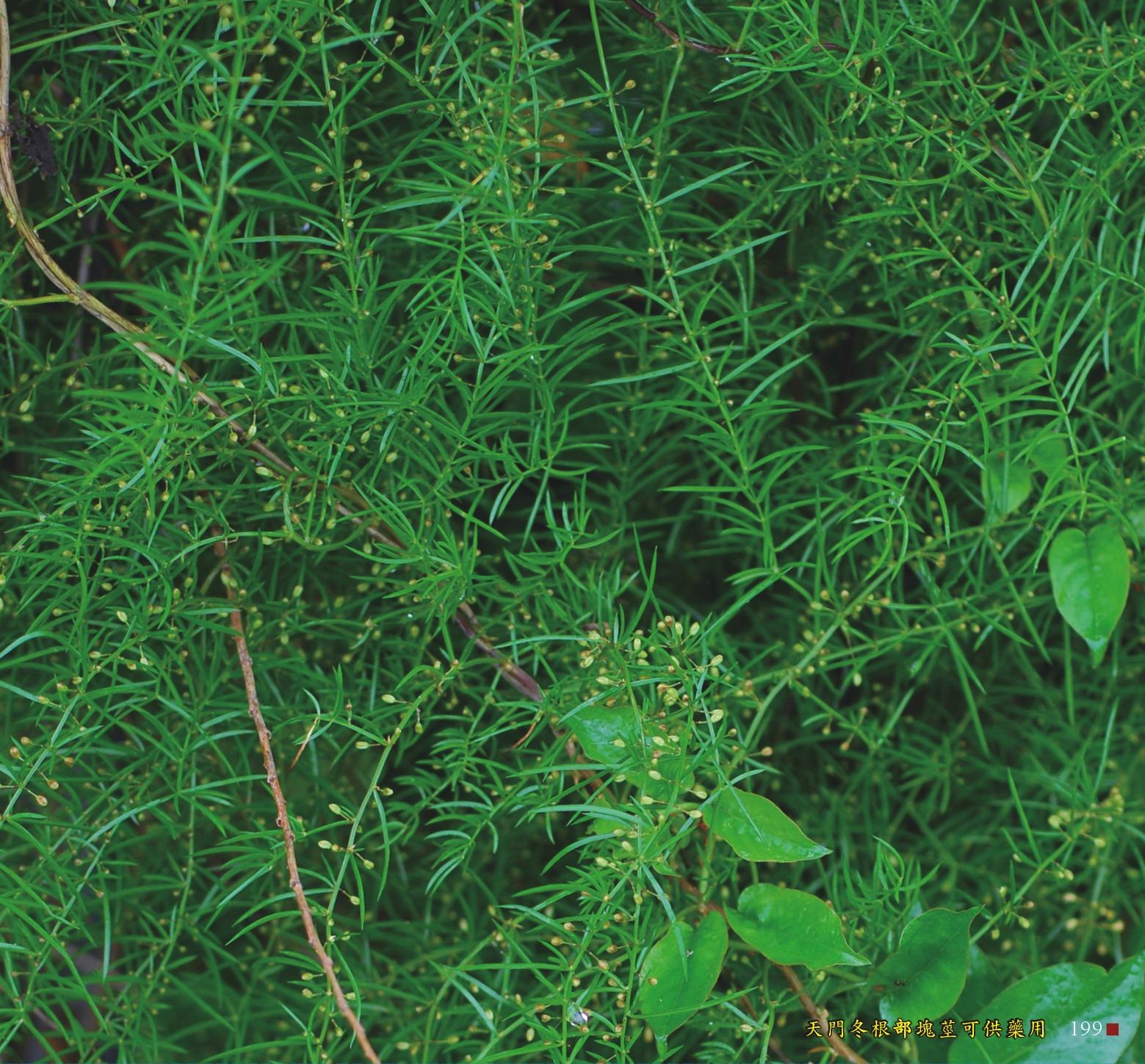 天門冬根部塊莖可供藥用
