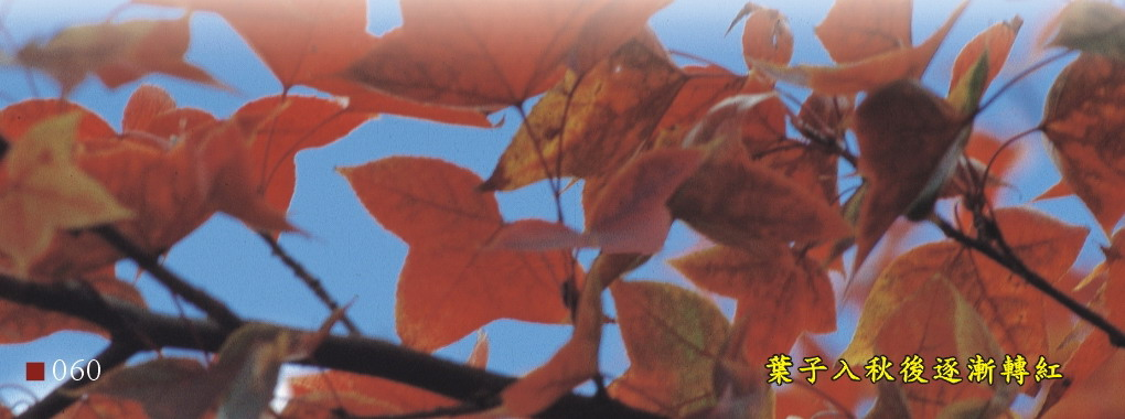 葉子入秋後豬漸轉紅