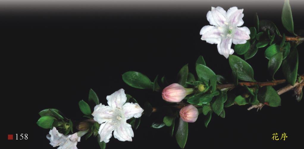 六月雪的花序