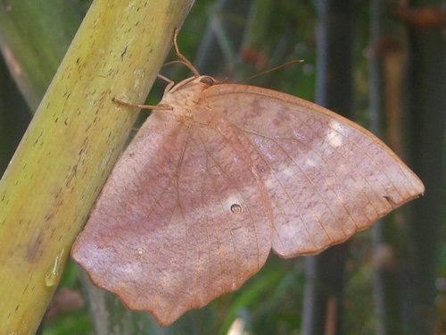鳳眼方環蝶