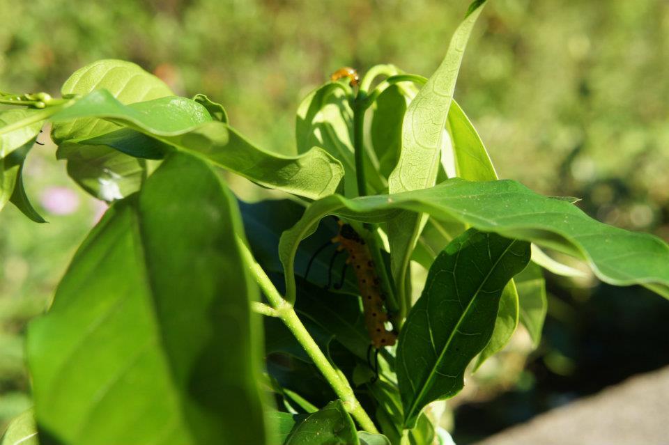 金門紫斑蝶-幼蟲