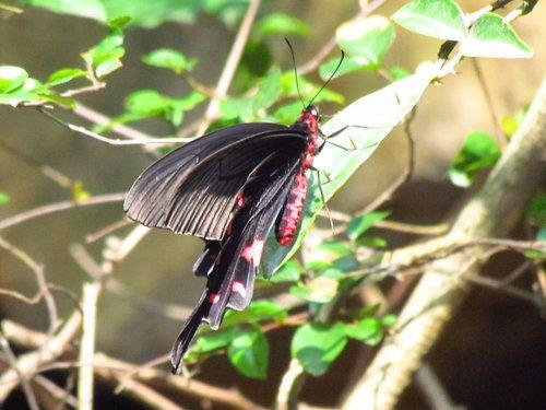 麝香鳳蝶-成蝶