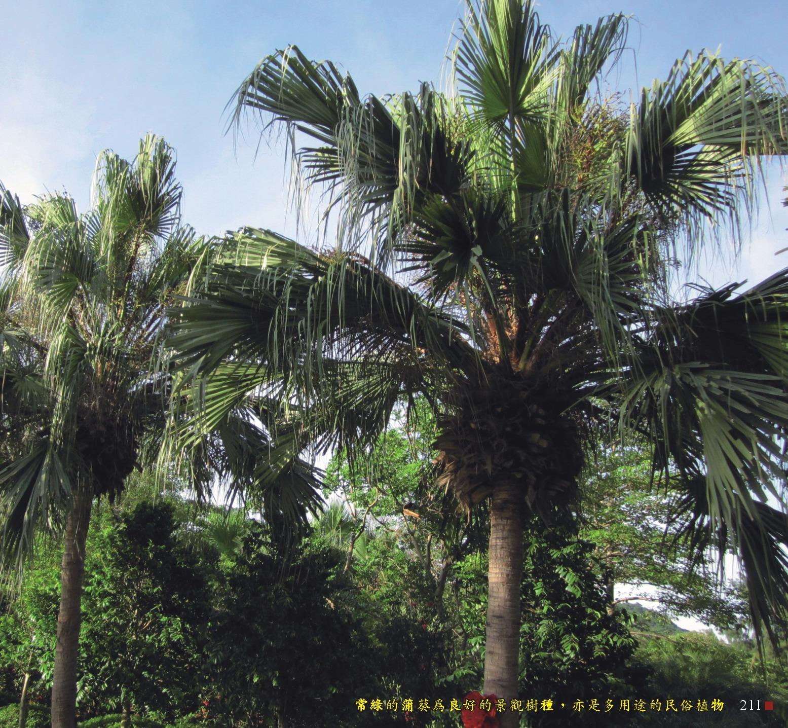 常綠的蒲葵為良好的景觀樹植,亦是多用途的民俗植物
