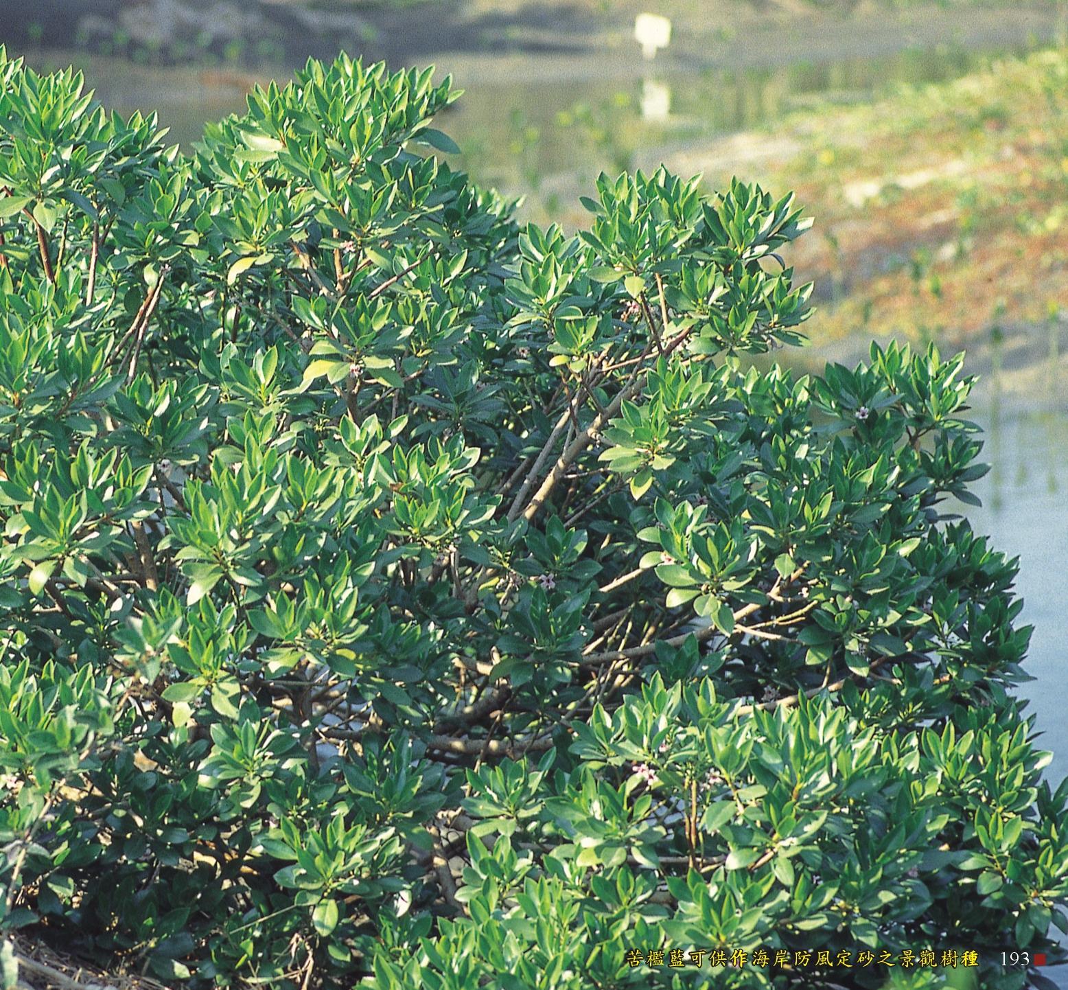 苦檻藍可供作海岸防風定砂之景觀樹種