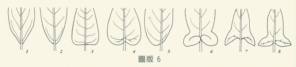 葉基-圖版6