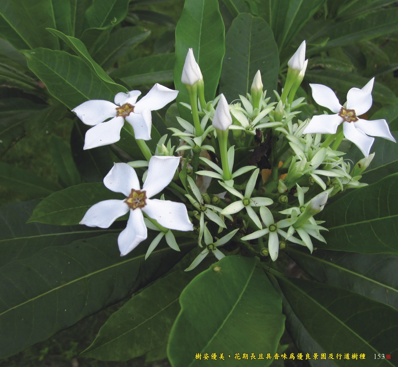 樹姿優美,花期長且具香味為優良景園及行道樹種