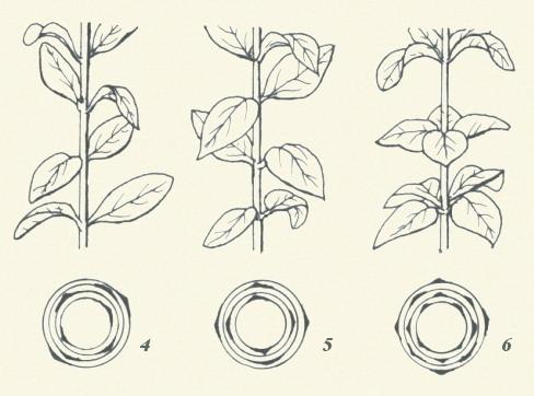 圖板1-葉序,編號4到6,對生葉一節上葉並左右相對而生著