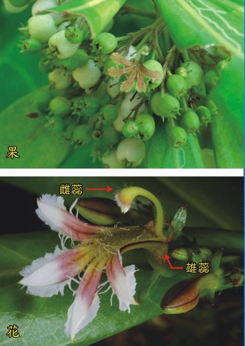 草海桐-果及花
