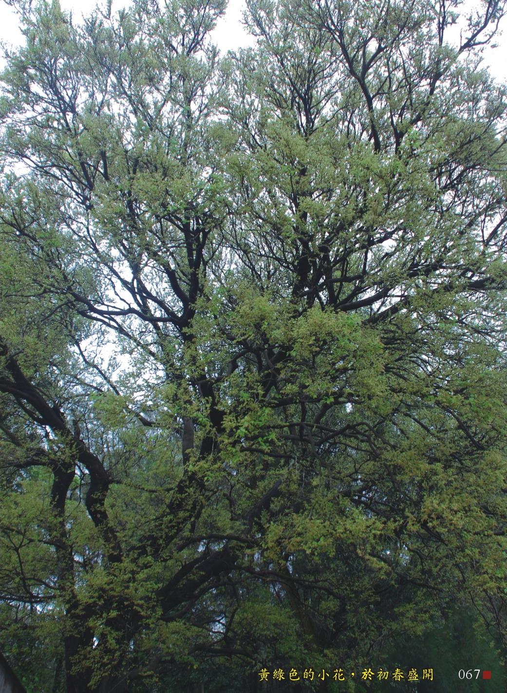 黃綠色的小花,於初春盛開