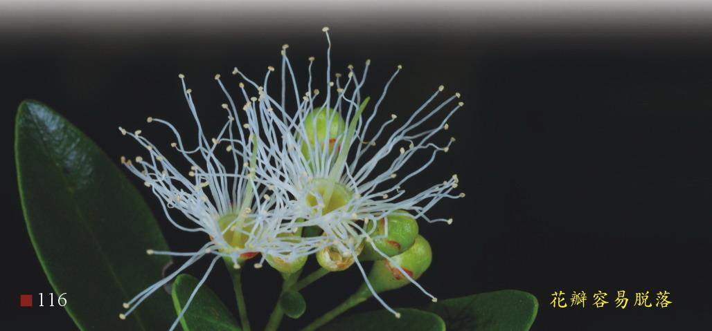 小葉赤楠-花瓣