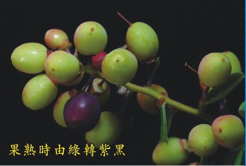果熟時由綠轉紫黑