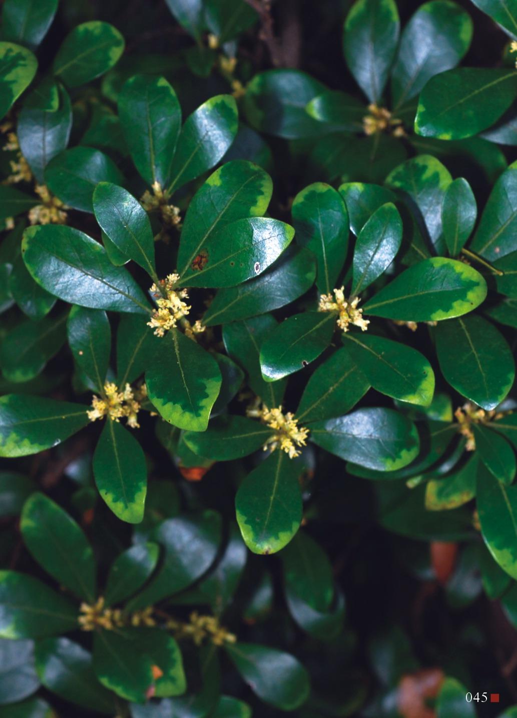 白背木薑子樹姿優雅,可推廣作為景觀植物