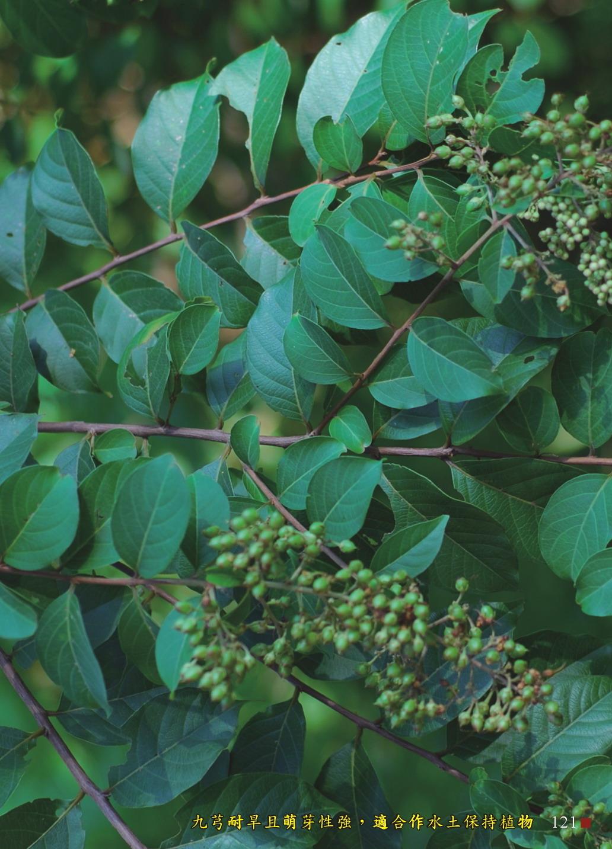 九芎耐旱且萌芽性強,適合作水土保持植物