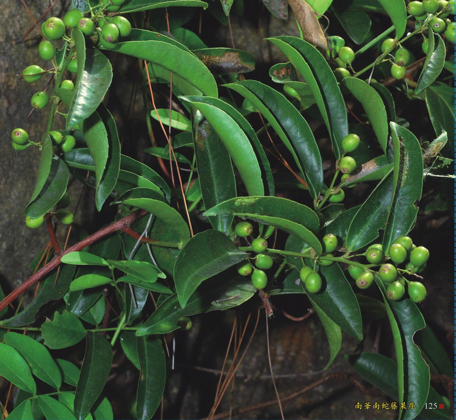 南華南蛇藤-果序