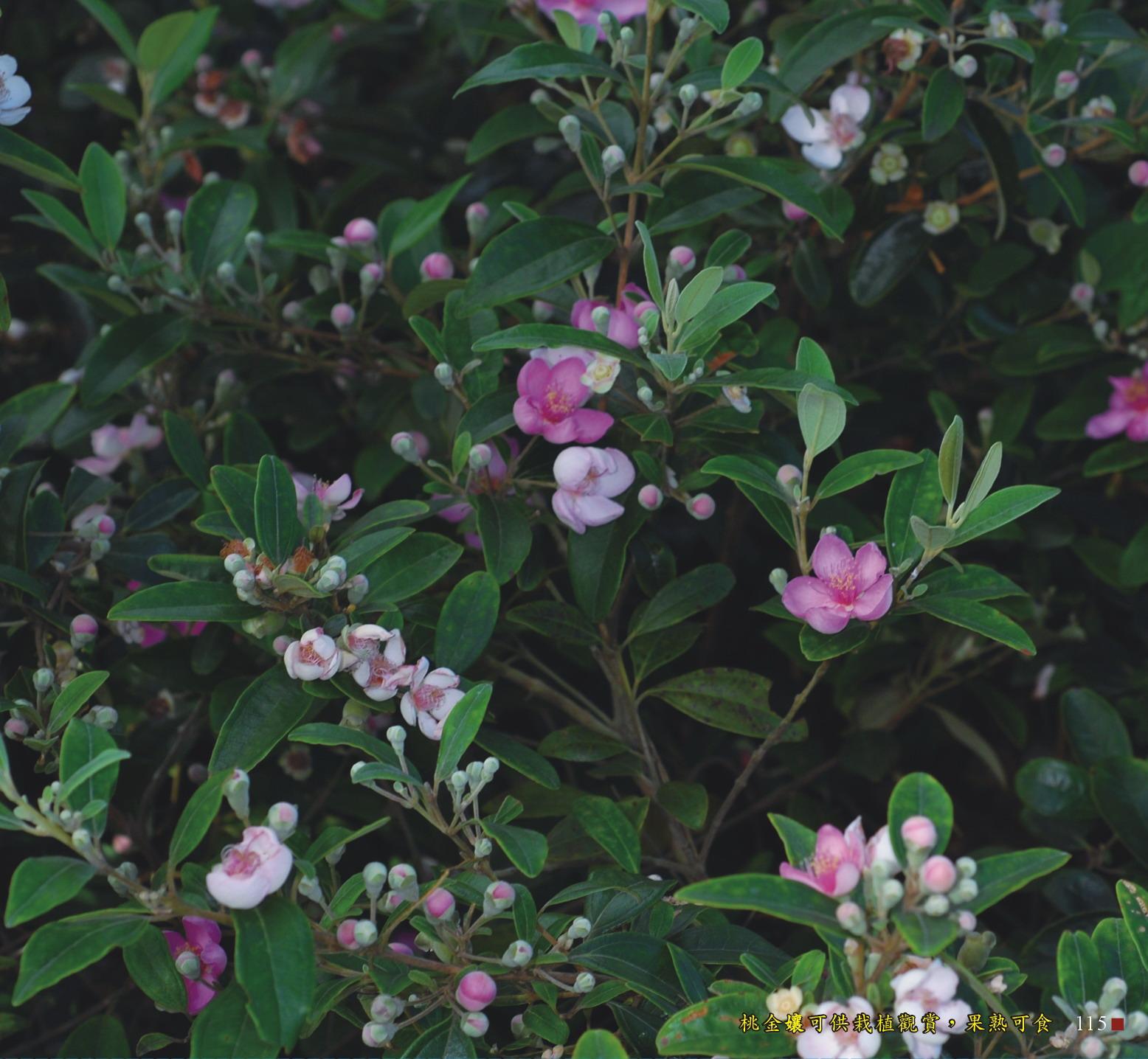 桃金孃可供栽植觀賞,果熟可食